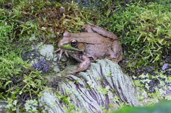 American Bullfrog contemplating Autumn