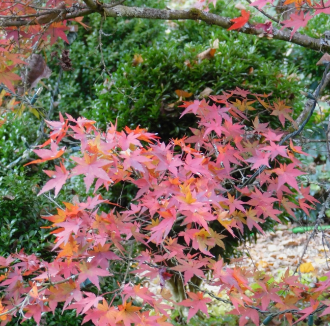The beauty of Acer palmatum var. unknown against an emerald boxwood green