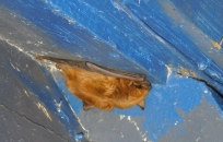 Brown Bat choosing to be a loner.