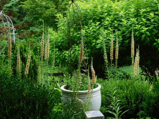 Digitalis ferruginea gigantea in the Garden